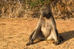 Chacma baboon (Papio ursinus) Royalty Free Stock Photos
