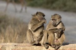 Chacma baboon (Papio ursinus) Royalty Free Stock Image