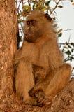 Chacma baboon (Papio ursinus). Royalty Free Stock Photo