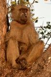 Chacma baboon (Papio ursinus). Stock Photography