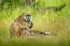 Chacma baboon, Papio ursinus, monkey from Moremi, Okavango delta, Botswana. Wild mammal in the nature habitat. Monkey feeding frui royalty free stock photo