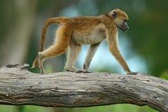 Chacma baboon, Papio ursinus, monkey from Moremi, Okavango delta, Botswana. Wild mammal in the nature habitat. Monkey feeding stock photography