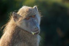 Chacma baboon (Papio ursinus). Royalty Free Stock Photos