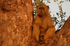 Chacma baboon (Papio ursinus) Stock Photos