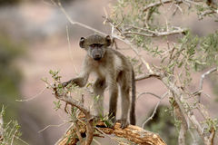 Chacma baboon, Papio ursinus Royalty Free Stock Images