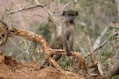 Chacma baboon, Papio ursinus Stock Photography