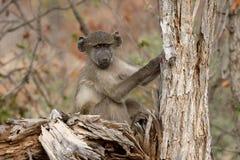 Chacma baboon, Papio ursinus Stock Image
