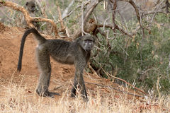Chacma baboon, Papio ursinus Stock Images