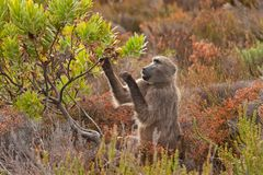 Chacma baboon, papio ursinus, South Africa. Cape town, nature, wild, cape of good hope, national park Royalty Free Stock Photos