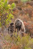 Chacma baboon, papio ursinus, South Africa. Cape town, nature, wild, cape of good hope, national park Stock Photography