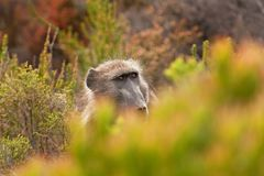 Chacma baboon, papio ursinus, South Africa. Cape town, nature, wild, cape of good hope, national park Stock Photo