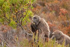 Chacma baboon, papio ursinus, South Africa. Cape town, nature, wild, cape of good hope, national park Royalty Free Stock Photography