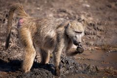 Chacma Baboon (Papio ursinus). At a water hole in southern Africa Stock Photos