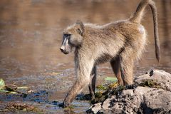 Chacma Baboon (Papio ursinus). At a water hole in southern Africa Royalty Free Stock Image