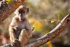 Chacma baboon (Papio ursinus). Young Chacma baboon (Papio ursinus) sitting on a branch Royalty Free Stock Images