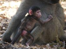 Chacma baboon. (Papio ursinus) in Zambia Stock Image