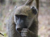 Chacma baboon. (Papio ursinus) in Zambia Stock Images