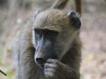 Chacma baboon. (Papio ursinus) in Zambia Royalty Free Stock Photos