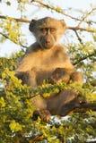 Chacma Baboon (Papioursinusen) Sydafrika Arkivfoto