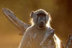 Chacma baboon portrait - Kruger National Park Royalty Free Stock Image