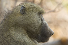 Chacma Baboon profile, Botswana. Chacma Baboon (Papio ursinus) profile of head. Wound on face. Chobe National Park, Botswana Royalty Free Stock Photography