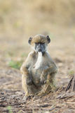 Chacma baboon with seedpod, Botswana Stock Photo