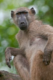 A chacma baboon sitting and scratching an itch. In the Kruger National Park, South Africa royalty free stock images