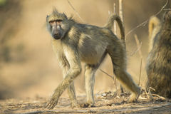Chacma Baboon walking. While looking at the camera royalty free stock photography