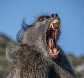 Chacma Baboon 'yawning'. When a Chacma baboon yawns, it is usually a sign of aggression as opposed to him being tired royalty free stock images