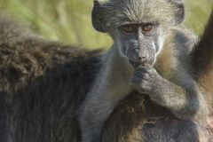 Chacma baboon youngster hanging on mother's back looking at viewer. stock photo