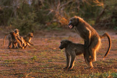 Chacma baboons. Are busy mating ; papio cynocephalus Stock Images