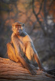 Chacma baboons. (Papio cynocephalus ursinus) in the early morning sunrise on the banks of the Chobe River in the Chobe Wildlife reserve, Botswana royalty free stock images