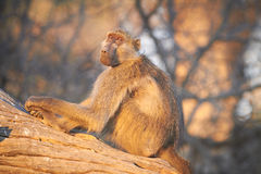 Chacma baboons. (Papio cynocephalus ursinus) in the early morning sunrise on the banks of the Chobe River in the Chobe Wildlife reserve, Botswana stock photos