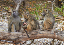 Chacma baboons. (Papio cynocephalus ursinus) in the early morning sunrise on the banks of the Chobe River in the Chobe Wildlife reserve, Botswana royalty free stock photography