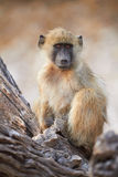 Chacma baboons. (Papio cynocephalus ursinus) in the early morning sunrise on the banks of the Chobe River in the Chobe Wildlife reserve, Botswana stock photography