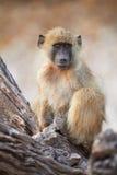 Chacma baboons Stock Photography