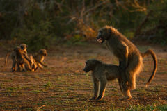 Chacma baboons. Mating while children are playing ; papio cynocephalus; South Africa Royalty Free Stock Image