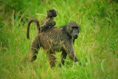 Chacma Baboons Royalty Free Stock Image
