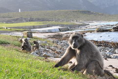 Chacma baboons in Cape point, south africa royalty free stock photo