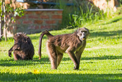 Chacma Baboons eating grass in campsite Royalty Free Stock Image