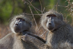 Chacma baboons engaged in mutual social grooming. Chacma Baboons in the Kruger Park, South Africa, engaged in mutual grooming stock photography
