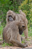 Chacma baboons grooming. Chacma baboons engage in mutual grooming in the Greater Kruger Transfrontier Park, South Africa stock image