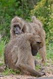 Chacma baboons grooming Stock Image