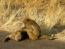 Chacma baboons Royalty Free Stock Photo