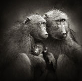Chacma baboons med behandla som ett barn regnar in Arkivbilder