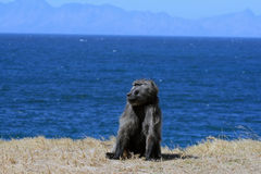 Chacma baboons on the ocean. Cape Town, South Africa Stock Photo
