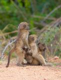 Chacma baboons (Papio cynocephalus) Royalty Free Stock Photos