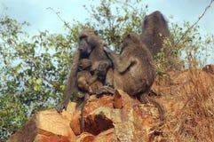 Chacma baboons (Papio ursinus) Stock Photos