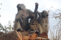 Chacma baboons (Papio ursinus) Royalty Free Stock Photography