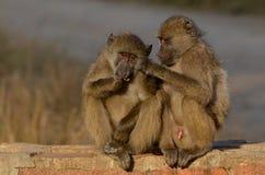 Chacma baboons (Papio ursinus) Stock Photography
